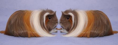 zqm_ckoe_meerschweinchen